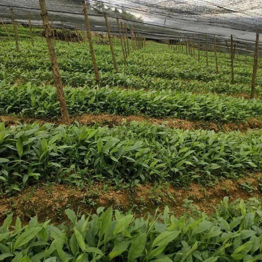 文山马关县草果苗 二十多分至三十分苗粗壮,量大从优