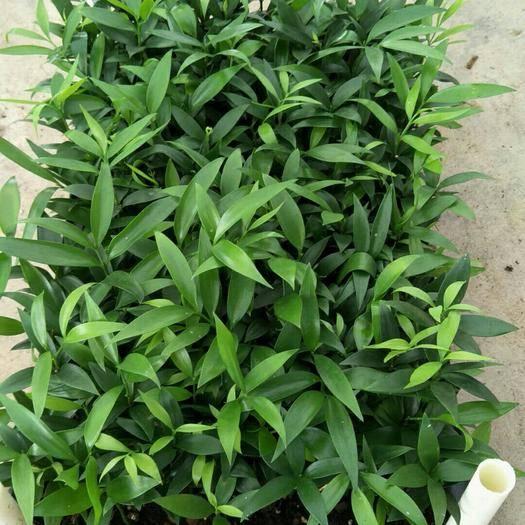佛山三水區 竹柏種苗四季常青觀葉盆栽