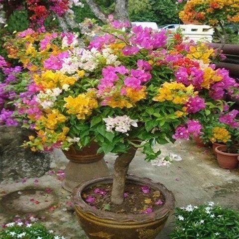 镇江丹阳市红缨三角梅苗 多款三角梅种子七彩重瓣花种子
