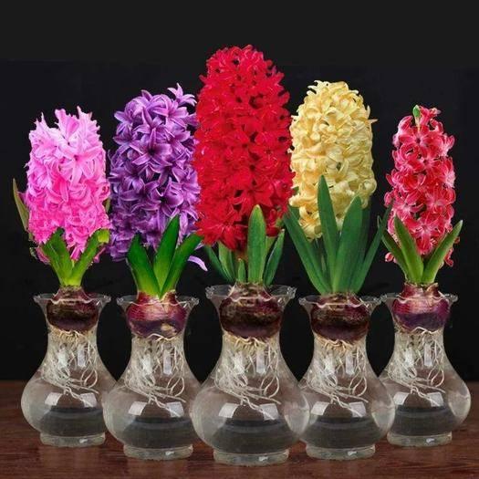 临沂郯城县风信子种球 荷兰进口七种颜色包对版