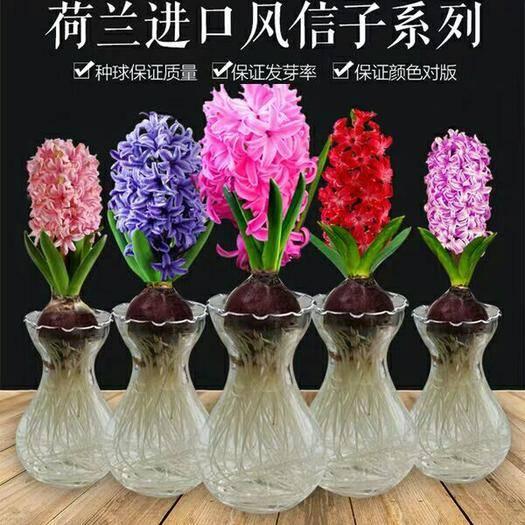 淮安涟水县 【风信子种球大球水培套装四季室内水养花盆栽桌面易活种子花卉植