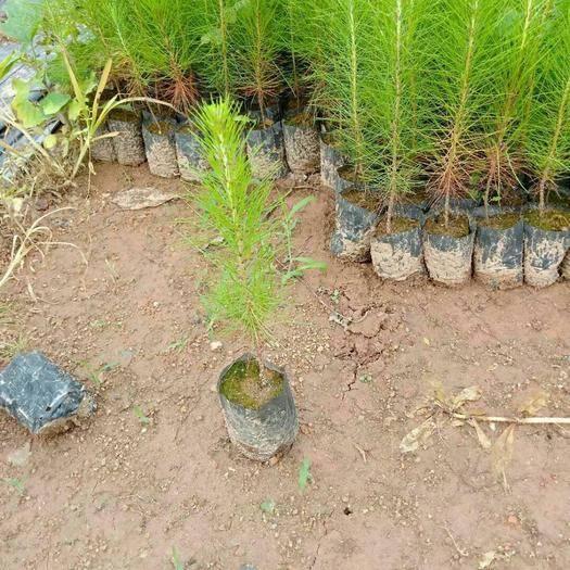 灵山县湿地松树苗 湿地松木代替桉树新品种