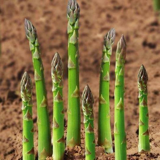 樟树市 芦笋种子四季播多年生 四季盆栽蔬菜种子 高产早熟 菜园大田