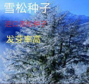 平邑县 进口雪松种子 发芽率高10-12斤/亩 提供种植技术