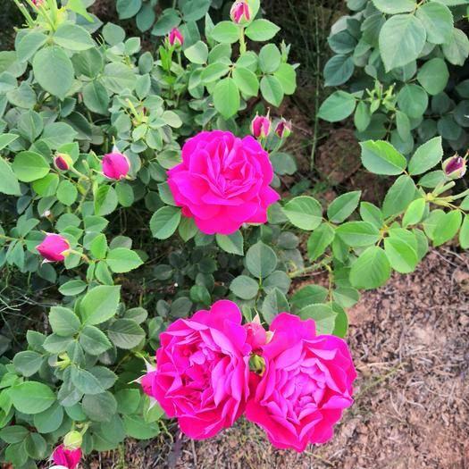 昆明呈貢區 食用玫瑰滇紅10-20公分扦插小苗云南昆明基地直銷一手貨源