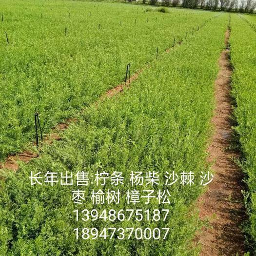 鄂尔多斯鄂托克前旗柠条苗 一年生 地径0.15__0.2  高度15__20公分