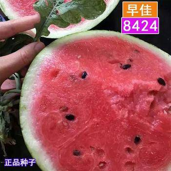 早佳8424西瓜种子 皮薄果肉红甜嫩 高糖口感极佳 高产抗病