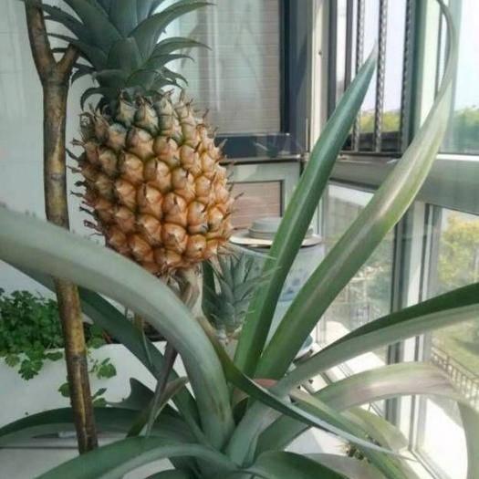 钦州灵山县香水菠萝苗 可盆栽可地栽可枞生,百分之百成活,百分之百结果。