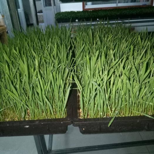 山东省烟台市牟平区小麦芽 全年生产,全年供应,寻求大型超市采购商和蔬菜批发商