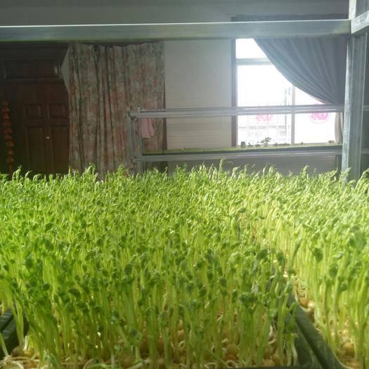 烟台豌豆苗 寻求大型超市采购商和蔬菜批发商