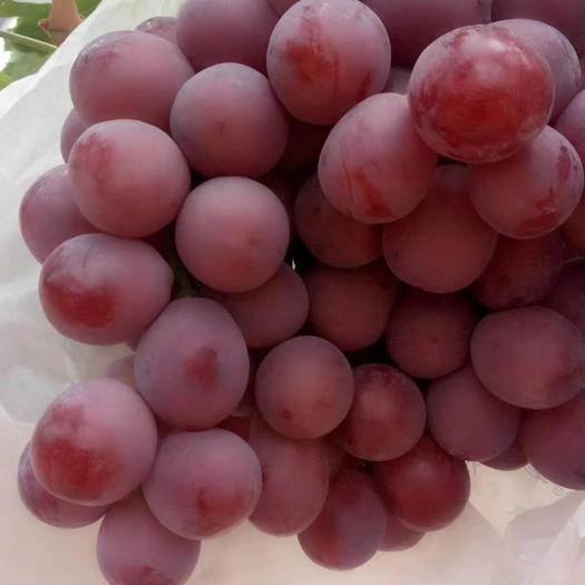 宾川县 云南红提葡萄新鲜当季应季水果现摘现发孕妇水果10斤包邮