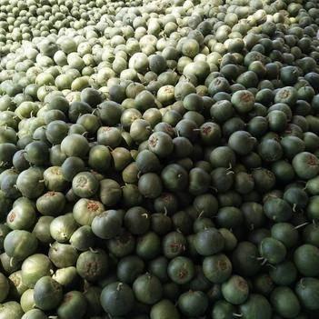 绿宝瓜 我这现在的甜瓜特便宜,白瓜几毛钱了,绿的一块多点。想收的联系