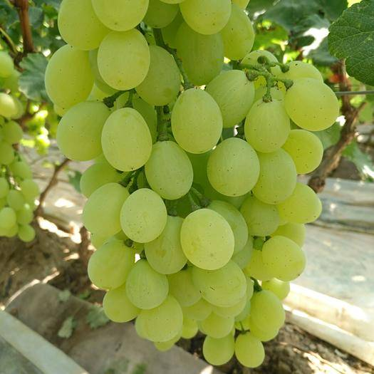 寿光市 维多利亚葡萄,巨峰葡萄大量上市了,欢迎前来采购