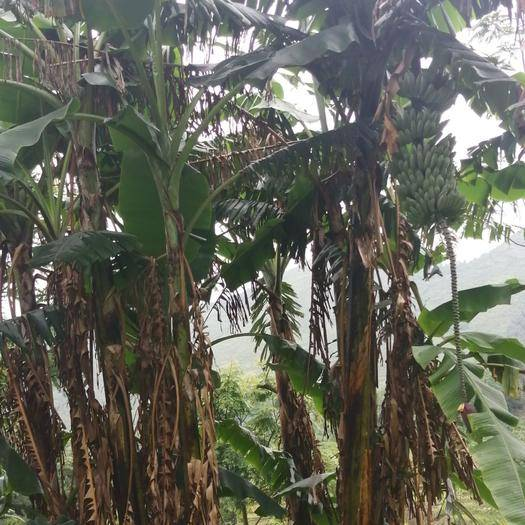 兴仁市 农村无污染土芭蕉。