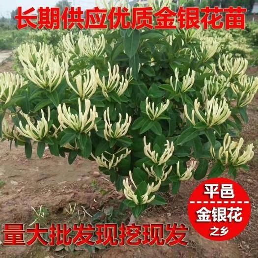 临沂平邑县 四季树型金银花苗,2年苗,丰产性强,包成活,干花包回收