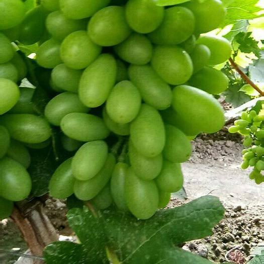 沈阳青无核葡萄 1.5- 2斤 5%以下 1次果