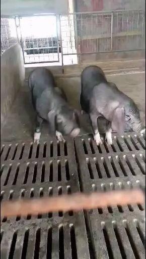 宿迁沭阳县 出售原种种猪,公母大小齐全