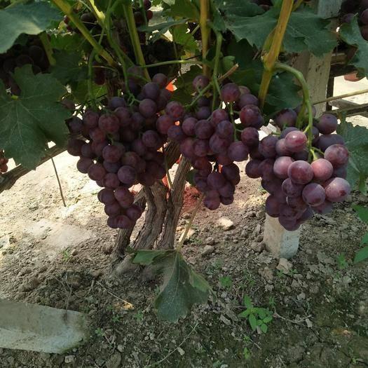 宁陵县绯红葡萄 0.8-1斤 5%以下 1次果