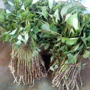 泗洪县芋梗 自己家育的打粉山芋苗,天干旱不下雨,就把地种别的了