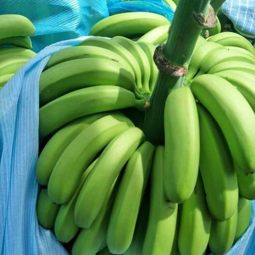 红河河口瑶族自治县 河口香蕉