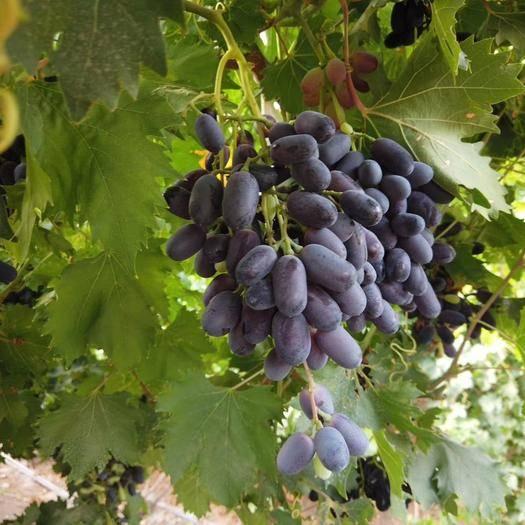 吐鲁番高昌区黑美人葡萄 1.5- 2斤 5%以下 1次果