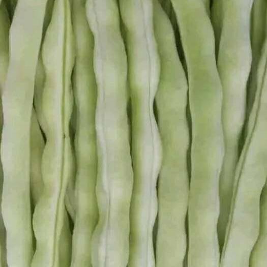 泰安岱岳区白不老四季豆 白不老、芸豆、老来俏、白莲豆,两万亩温室棚
