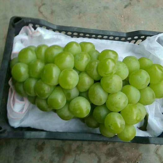 鸡泽县 青无核葡萄即将大量上市可以长期供应罐头厂
