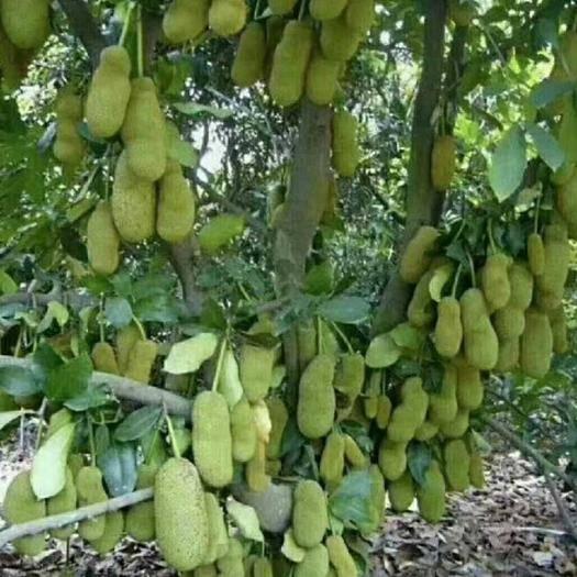 钦州灵山县四季菠萝蜜苗 四季菠萝蜜 马来西亚一号 干包 湿包  泰国红肉菠萝蜜