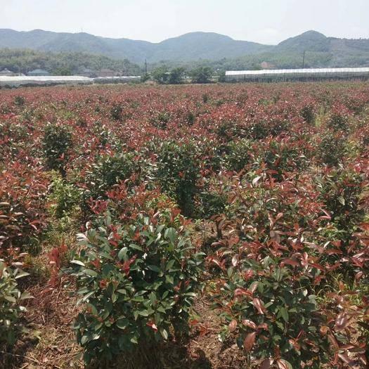 滁州 安徽大型紅葉石楠球基地