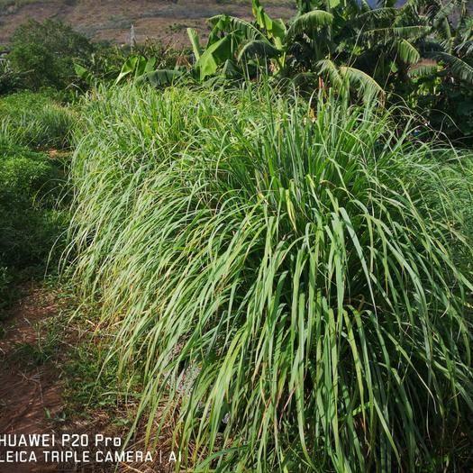 云南省昆明市西山区 大规模种植香茅草!有需要的,请与我联系