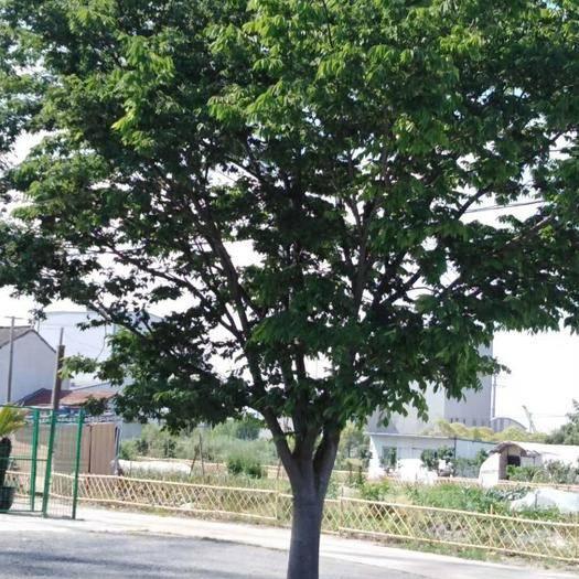 滁州南谯区 榉树