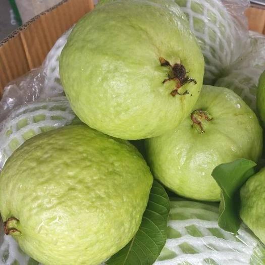 阳江阳春市 红心芭乐番石榴  新鲜水果 五斤装  果园直销  一件代发