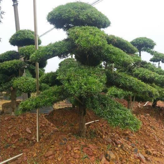咸寧咸安區造型松樹 造型羅漢松,美化庭院,高端大方!