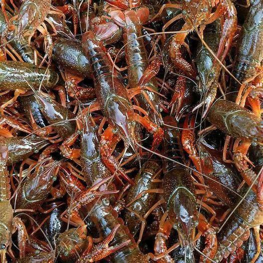 潛江潛江市 潛江小龍蝦一手貨源中青紅大青紅硬規格底板干凈部分地區可發貨