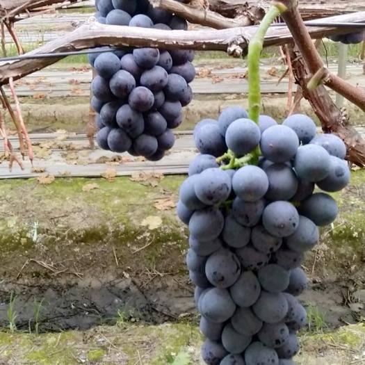 成都 一年一季的有机葡萄成熟了,有喜欢的朋友请联系我