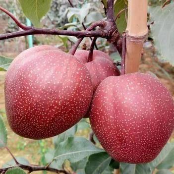早酥红梨树苗梨苗品种纯正嫁接梨苗果树苗