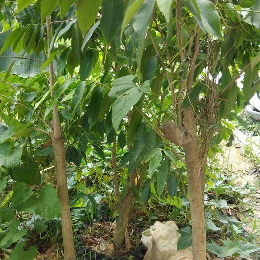 欽州靈山縣奇楠沉香樹 60公分以上高帶土帶葉發貨包郵