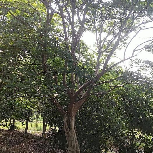 武漢江夏區紫薇樹 老貨源真實,請各位老板放心購買