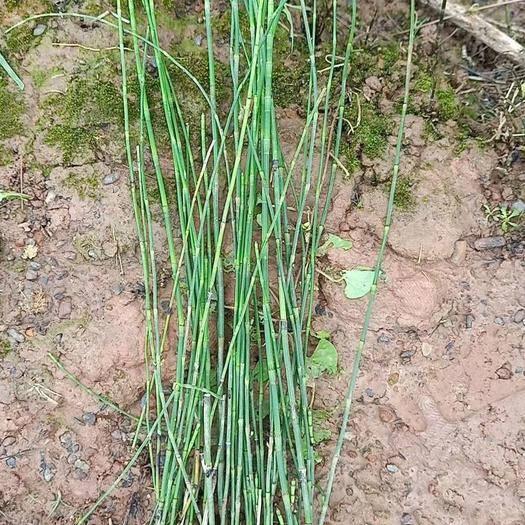 梧州龍圩區木賊 苗子與曬干的都有現貨,直銷