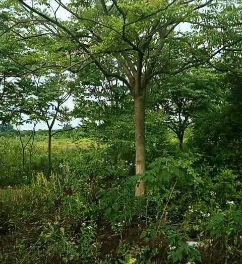 九江 正宗黃山欒樹從1公分到20公分有幾千畝田的欒樹出銷,價格適