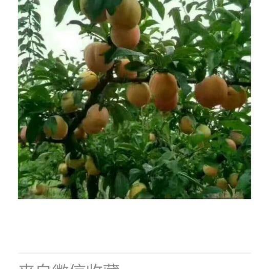 大连普兰店区 预售大红袍李子