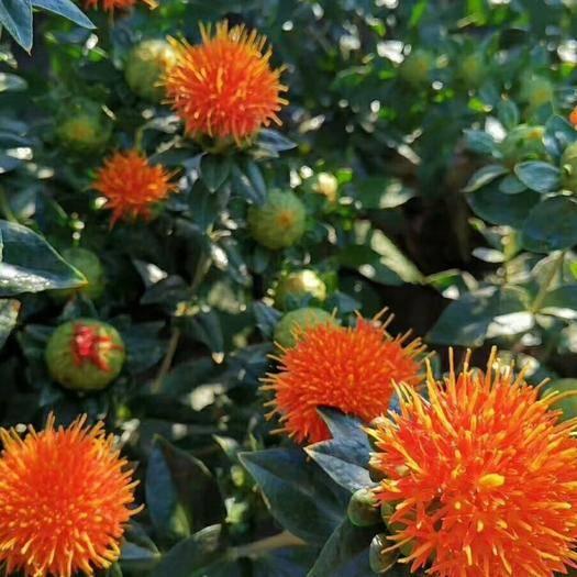 保定安國市紅花 優質品種,管理簡單,收購產品。