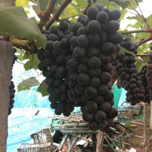 常州 果粉好的,串型大,葡萄黑