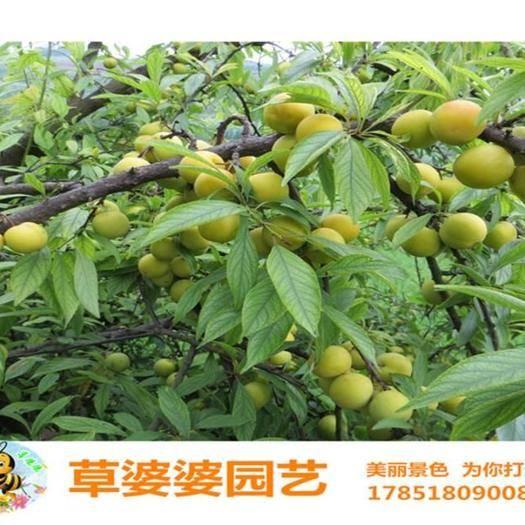 宿迁沭阳县 果树种子杏树种子各种果树种子