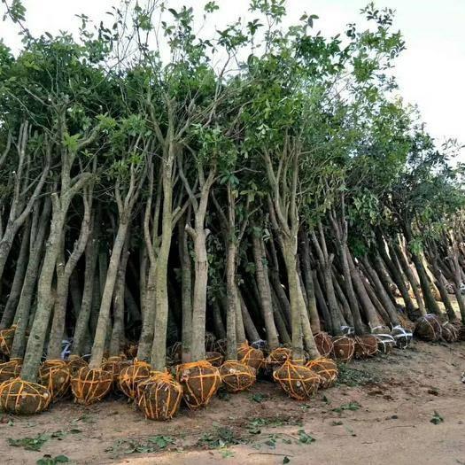 咸寧 桂花樹 占地征收用桂花樹規格全10一20公分,現挖現發貨!