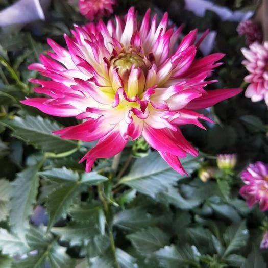 潍坊青州市小丽花种子 盆栽小丽花  双色盆
