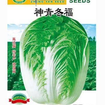 大白菜种子 神青冬福白菜种子 高抗病 特丰产 效益高