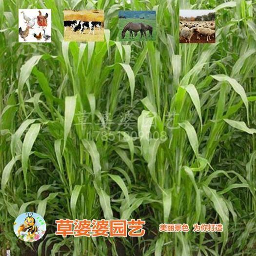 宿迁沭阳县 牧草种子苏丹草种子冬牧70种子大麦种子黑麦草种子