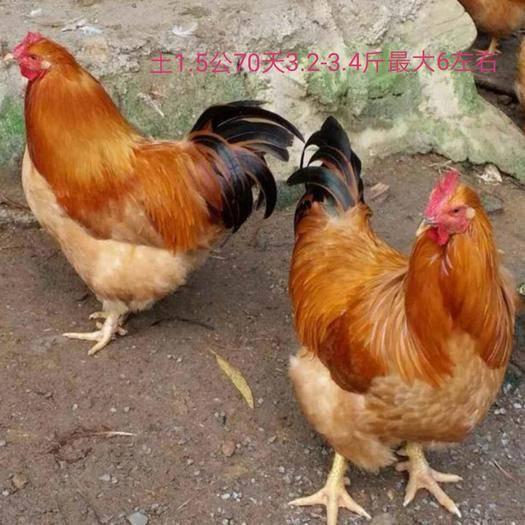 广州白云区 红毛土1.5公鸡苗 厂家直销 品种纯正