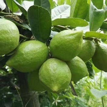 四季青柠檬苗可盆栽可地栽一年四季开花结果美容养颜杀菌消毒